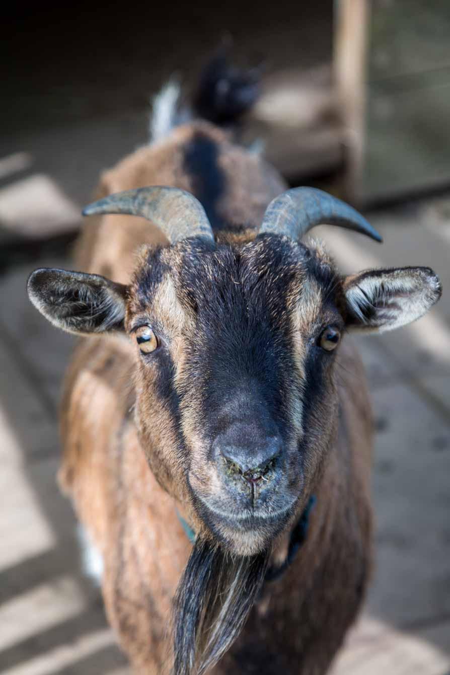 Ferme de Balme chèvre