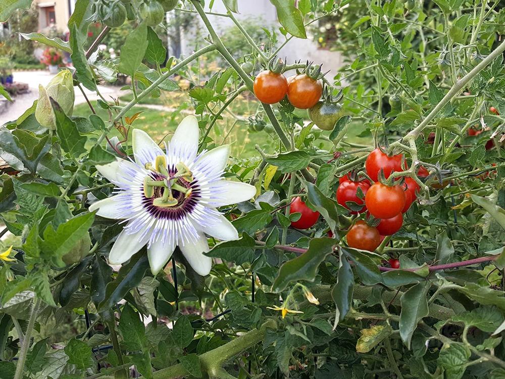Passiflore et tomates - Ferme de Balme